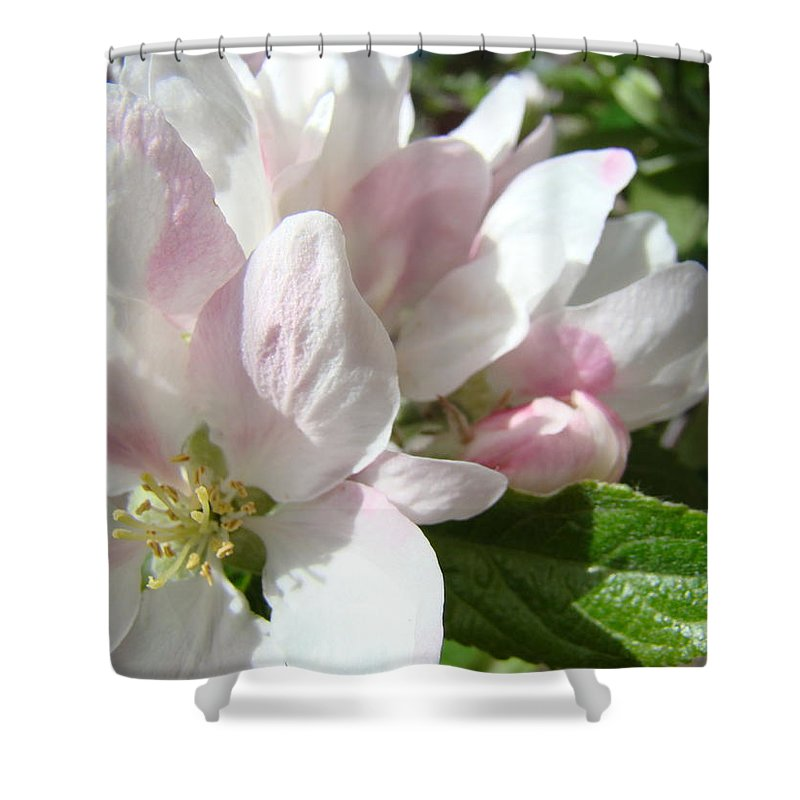 Apple Shower Curtain featuring the photograph Spring Apple Blossoms Art Prints Apple Tree Baslee Troutman by Baslee Troutman