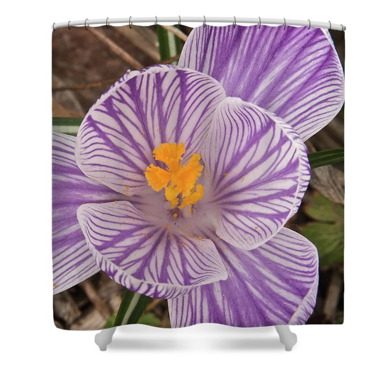 Flowers Shower Curtain featuring the photograph Spring Crocus by Michael Peychich