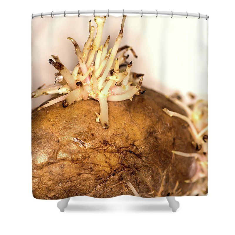 Potato Shower Curtain featuring the photograph Sprouting Potato by Jarmo Honkanen
