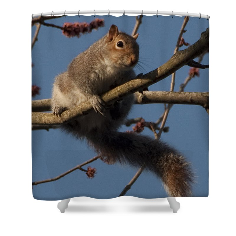 Squirrel Shower Curtain featuring the photograph Squirrel by Steven Natanson