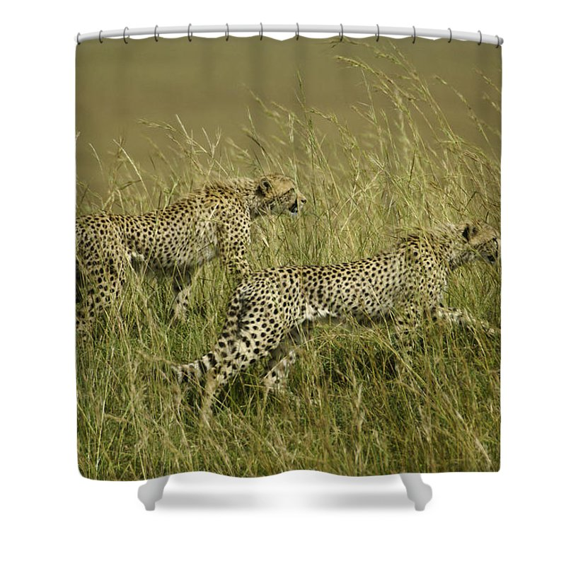 Africa Shower Curtain featuring the photograph Stalking Cheetahs by Michele Burgess