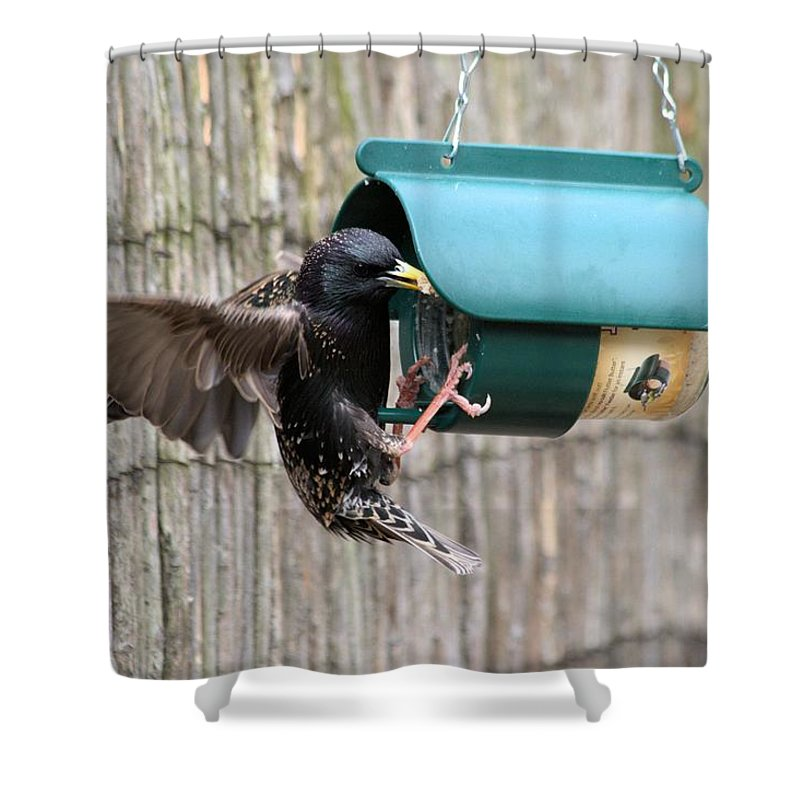 Starling On Bird Feeder Shower Curtain featuring the photograph Starling On Bird Feeder by Gordon Auld