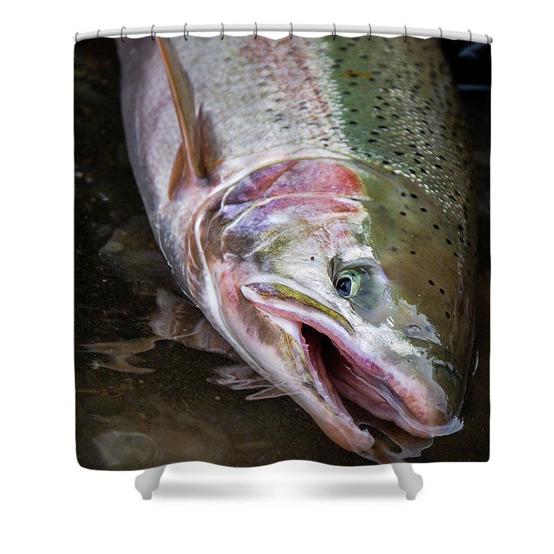 Fishing Shower Curtain featuring the photograph Steelhead 1 by Jason Brooks