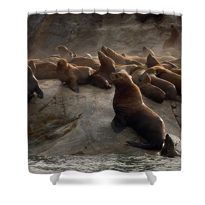 Large Group Of Animals Shower Curtain featuring the photograph Stellers Sea Lions Eumetopias Jubatus by Ralph Lee Hopkins