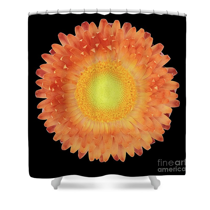Strawflower Shower Curtain featuring the photograph Pink Flower On A Black Background 3 by Valdis Veinbergs