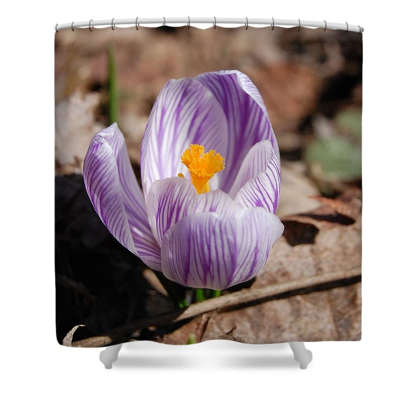 Digital Photography Shower Curtain featuring the photograph Striped Crocus by David Lane