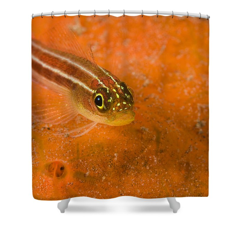 One Animal Shower Curtain featuring the photograph Striped Triplefin Helcogramma Striata by Tim Laman