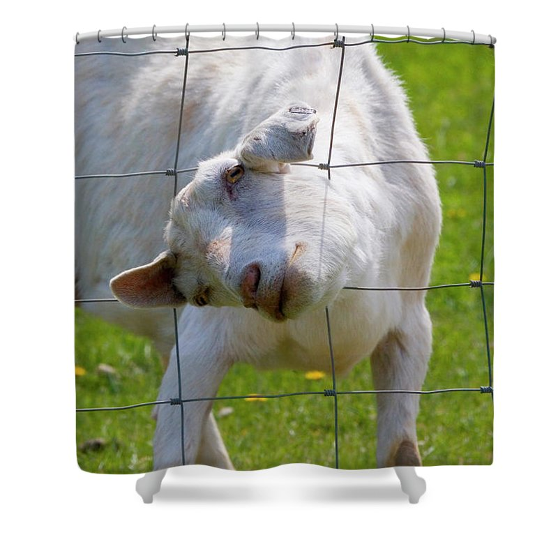 Goat Shower Curtain featuring the photograph Stuck by Mike Dawson