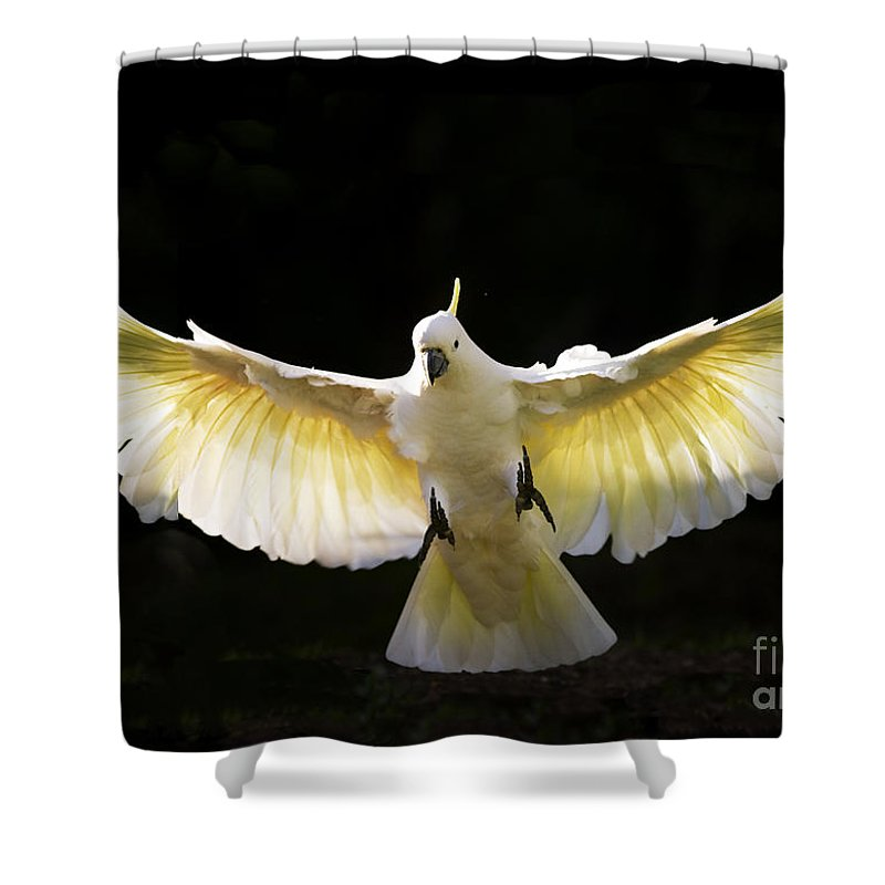 Sulphur Crested Cockatoo Australian Wildlife Shower Curtain featuring the photograph Sulphur Crested Cockatoo In Flight by Sheila Smart Fine Art Photography