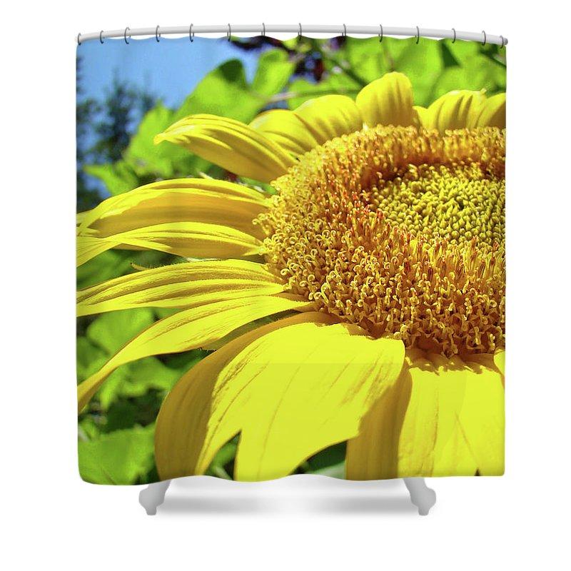 Sunflower Shower Curtain featuring the photograph Sun Flower Art Sunlit Sunflower Giclee Prints Baslee Troutman by Baslee Troutman