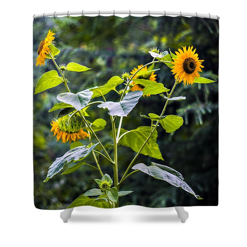 Sunflowers Shower Curtain featuring the photograph Sun Flowers by Helena Kon