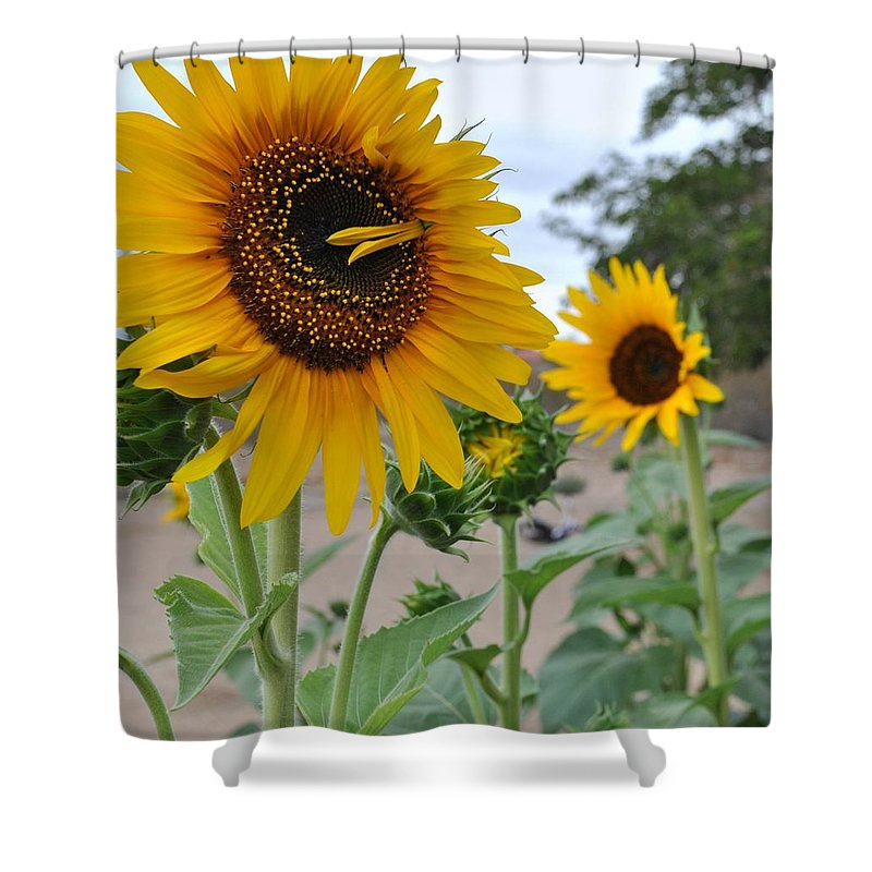Sunflowers Shower Curtain featuring the photograph Sunflowers by Lyncia Taylor