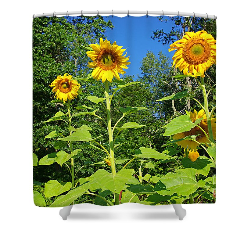 Sunflower Shower Curtain featuring the photograph Sunflowers by Zal Latzkovich