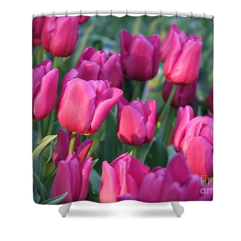 Pink Tulips Shower Curtain featuring the photograph Sunlight On Pink Tulips by Carol Groenen