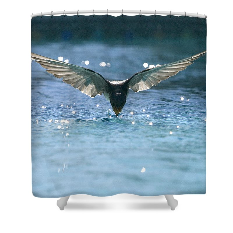 Swallows Shower Curtain featuring the photograph Swallow Drinks From Pool by Bryan Allen