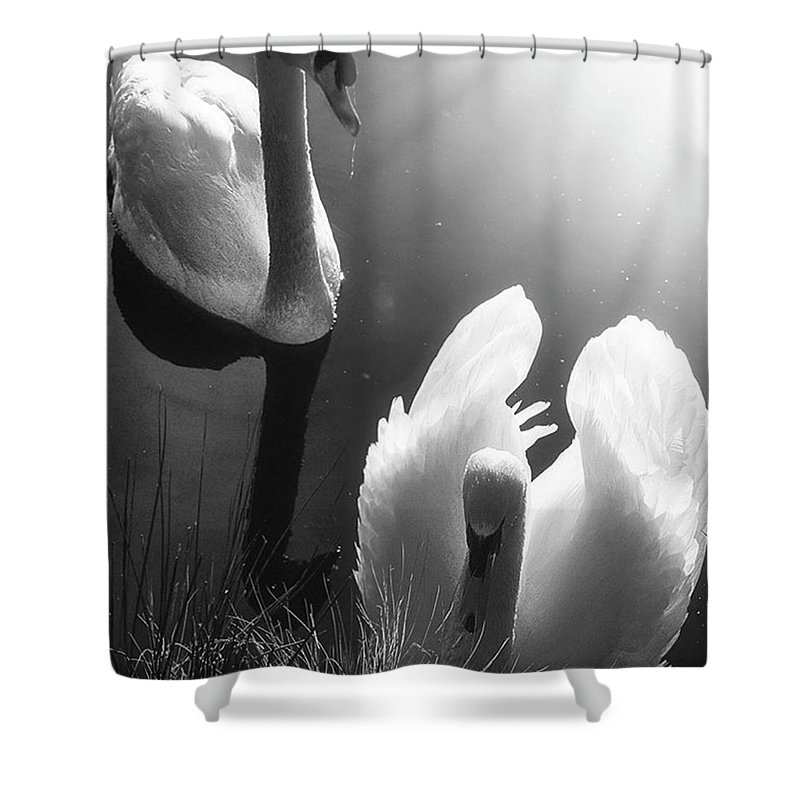 Swan Shower Curtain featuring the photograph Swan Lake In Winter - Kingsbury Nature by John Edwards