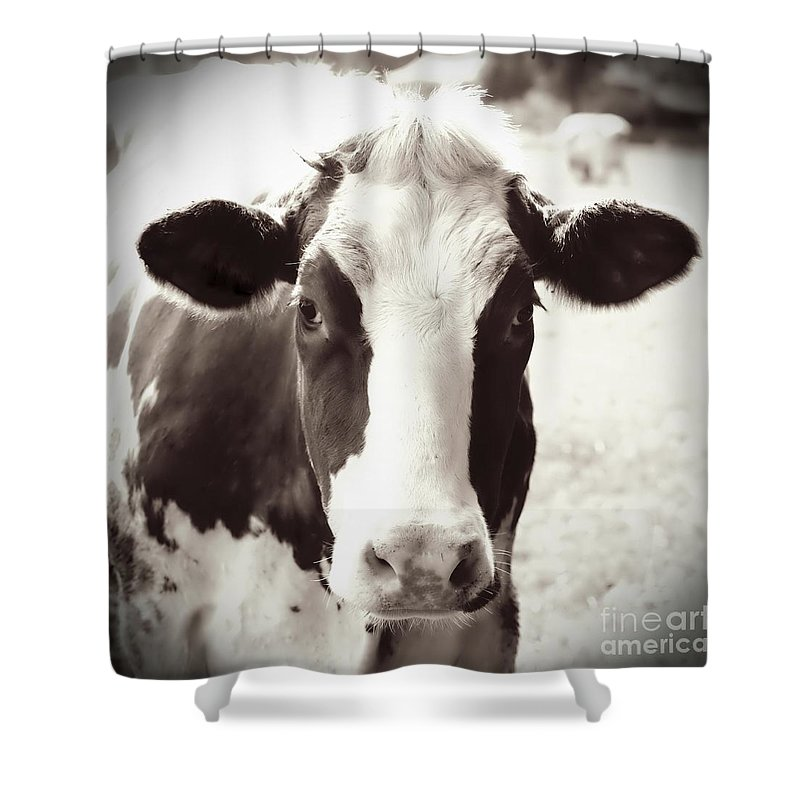 Sweet Cow Face Shower Curtain For Sale By Carol Groenen