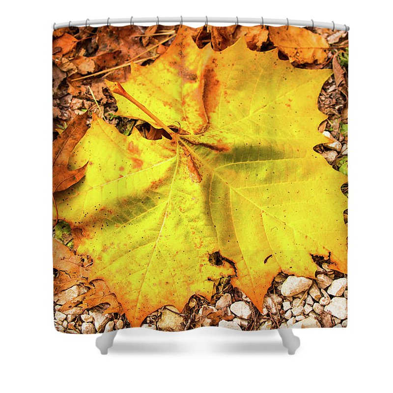 Fall Shower Curtain featuring the photograph Sycamore Leaf In Fall by Edie Ann Mendenhall