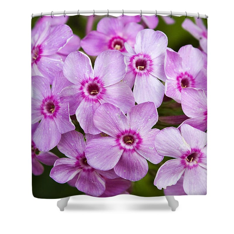 Phlox Shower Curtain featuring the photograph Tall Garden Phlox by Teresa Mucha