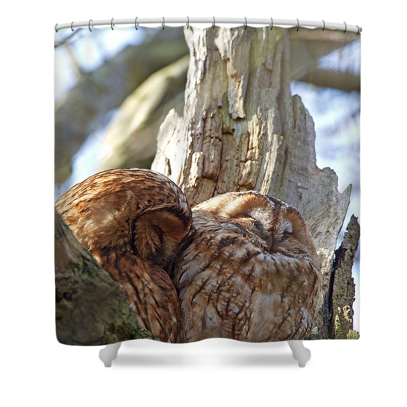 Tawny Owl Shower Curtain featuring the photograph Tawny Owls In Love by Bob Kemp