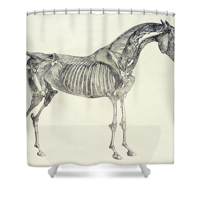 The Anatomy Of The Horse Shower Curtain For Sale By George Stubbs