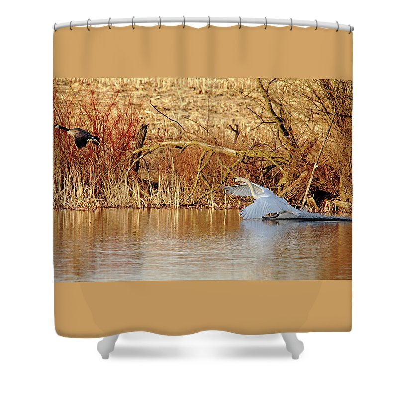 Mute Swan Shower Curtain featuring the photograph The Chase Is Over by Debbie Oppermann