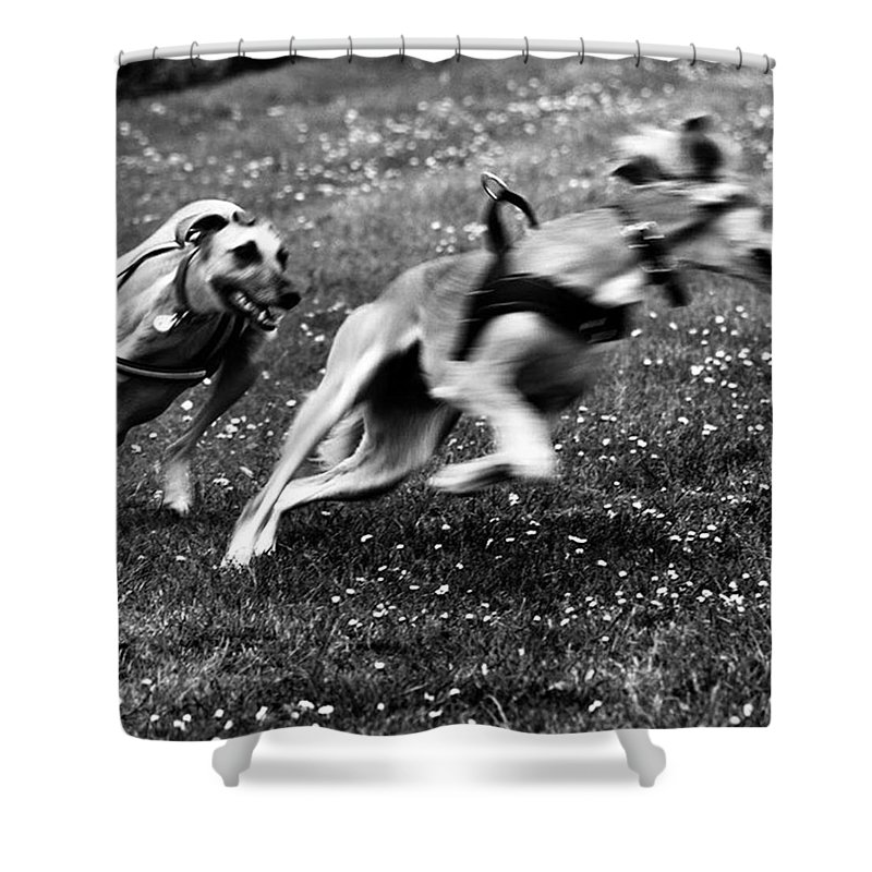 Persiangreyhound Shower Curtain featuring the photograph The Chasing Game. Ava Loves Being by John Edwards
