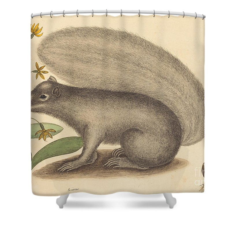 Shower Curtain featuring the drawing The Grey Fox Squirrel (sciurus Cinereus) by Mark Catesby