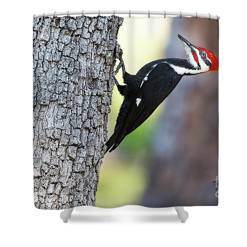Woodpecker Shower Curtain featuring the photograph The Pileated by Deborah Benoit