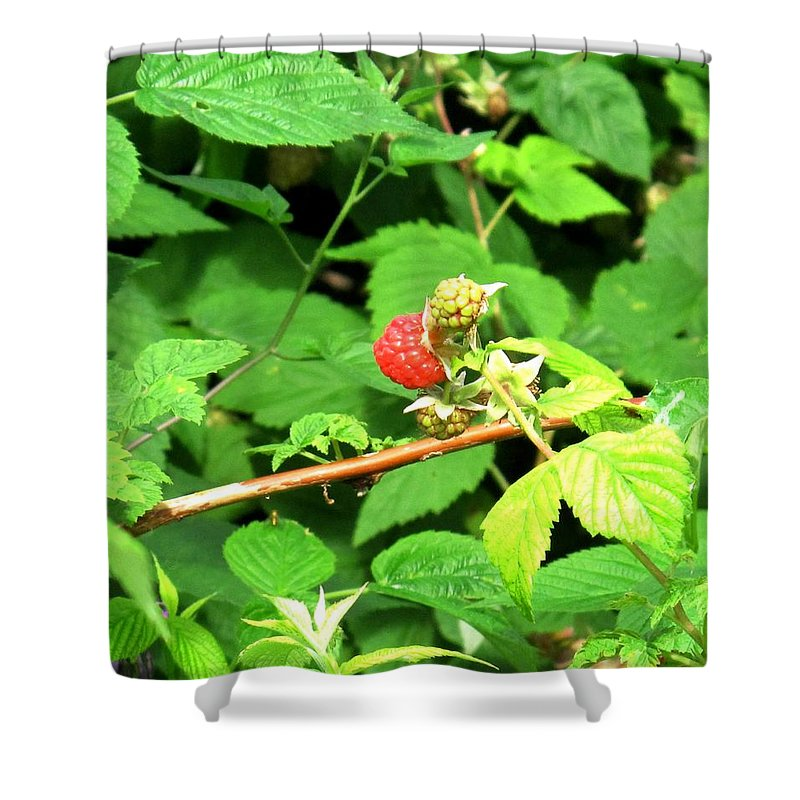 Rasberry Shower Curtain featuring the photograph The Rasberry Patch by Ian MacDonald