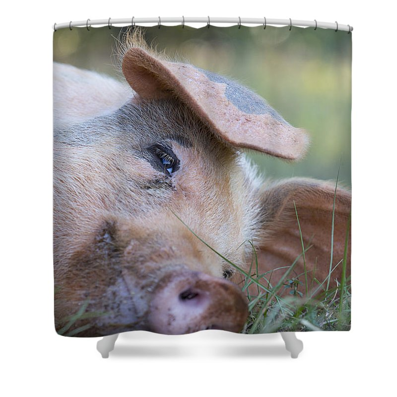 Hog Shower Curtain featuring the photograph Thelma Lou by Keith May