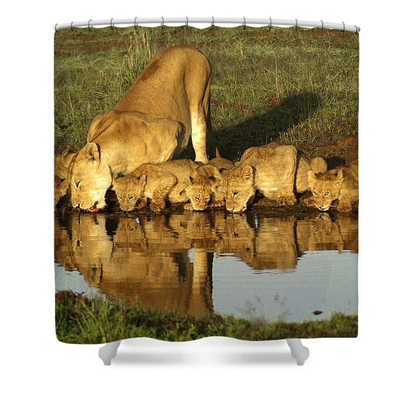 Lion Shower Curtain featuring the photograph Thirsty Lions by Michele Burgess