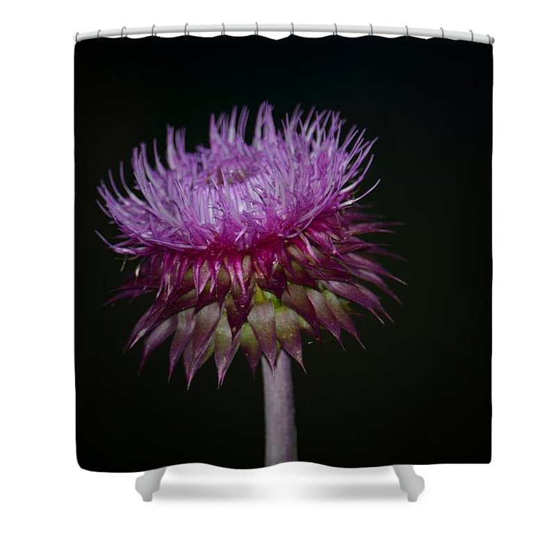 Thistle On Black Background Shower Curtain featuring the photograph Thistle On Black Background by Maria Urso