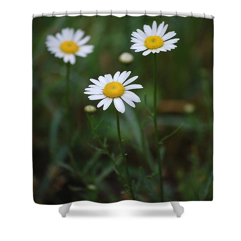 Flowers Shower Curtain featuring the photograph Three Daisy's by Robert Meanor