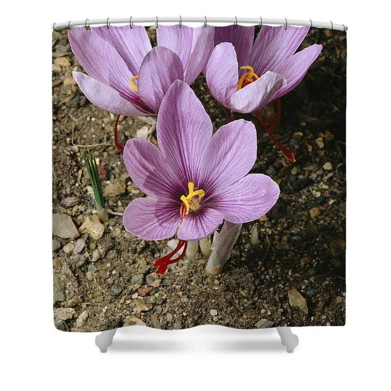 North America Shower Curtain featuring the photograph Three Lovely Saffron Crocus Blossoms by Sylvia Sharnoff