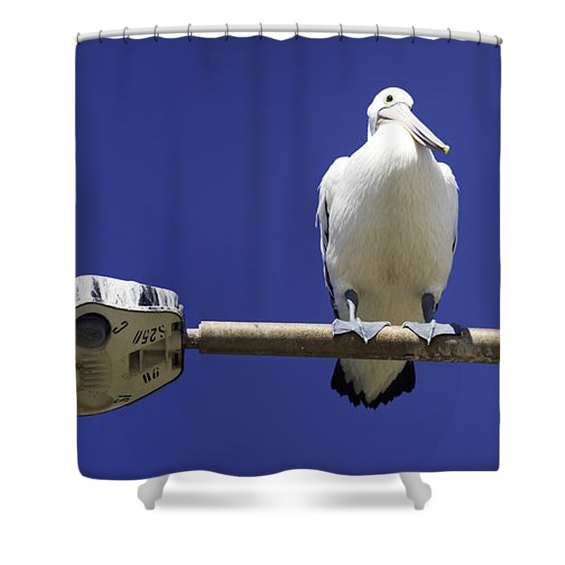 Australian White Pelicans Shower Curtain featuring the photograph Three Pelicans On A Lamp Post by Sheila Smart Fine Art Photography