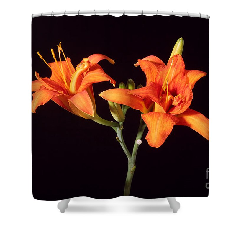 Flora Shower Curtain featuring the photograph Tiger Lily Flower Opening Part by Ted Kinsman