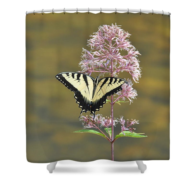 Butterfly Shower Curtain featuring the photograph Tiger Swallowtail Butterfly On Common Milkweed 1 by Rich Bodane