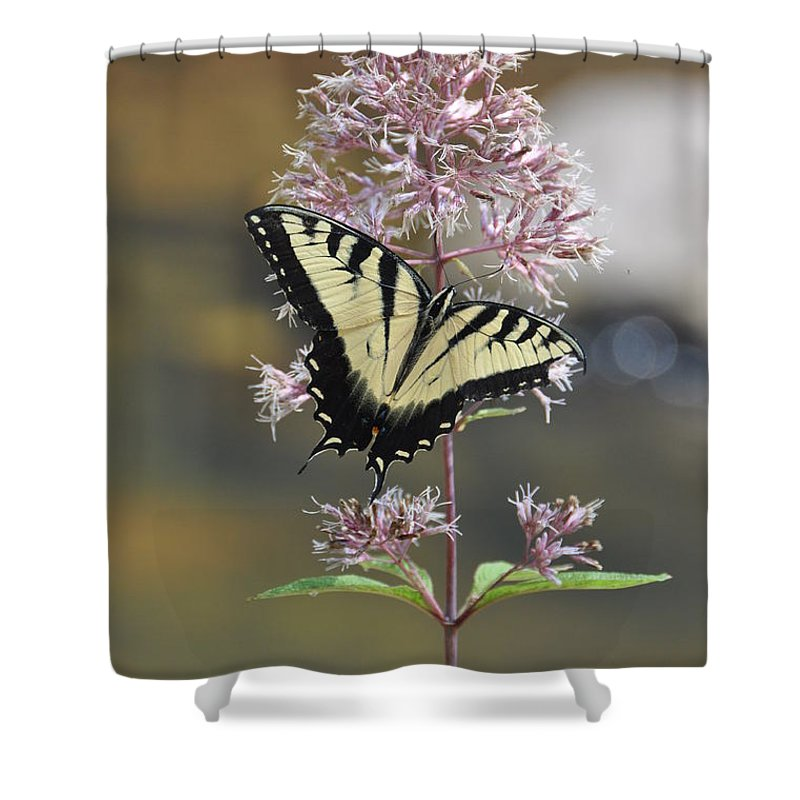 Butterfly Shower Curtain featuring the photograph Tiger Swallowtail Butterfly On Common Milkweed 2 by Rich Bodane