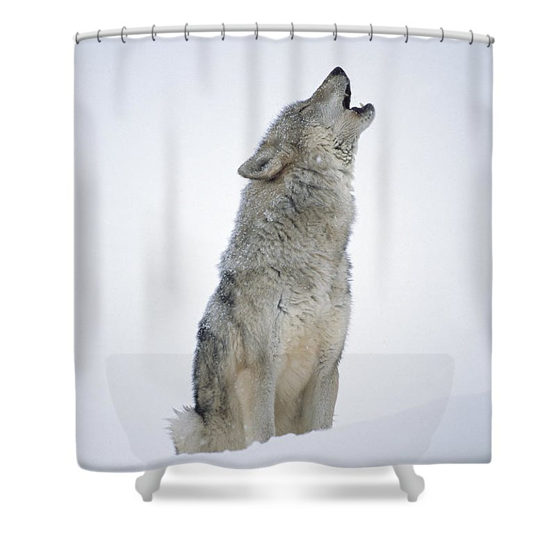 00174271 Shower Curtain featuring the photograph Timber Wolf Portrait Howling In Snow by Tim Fitzharris
