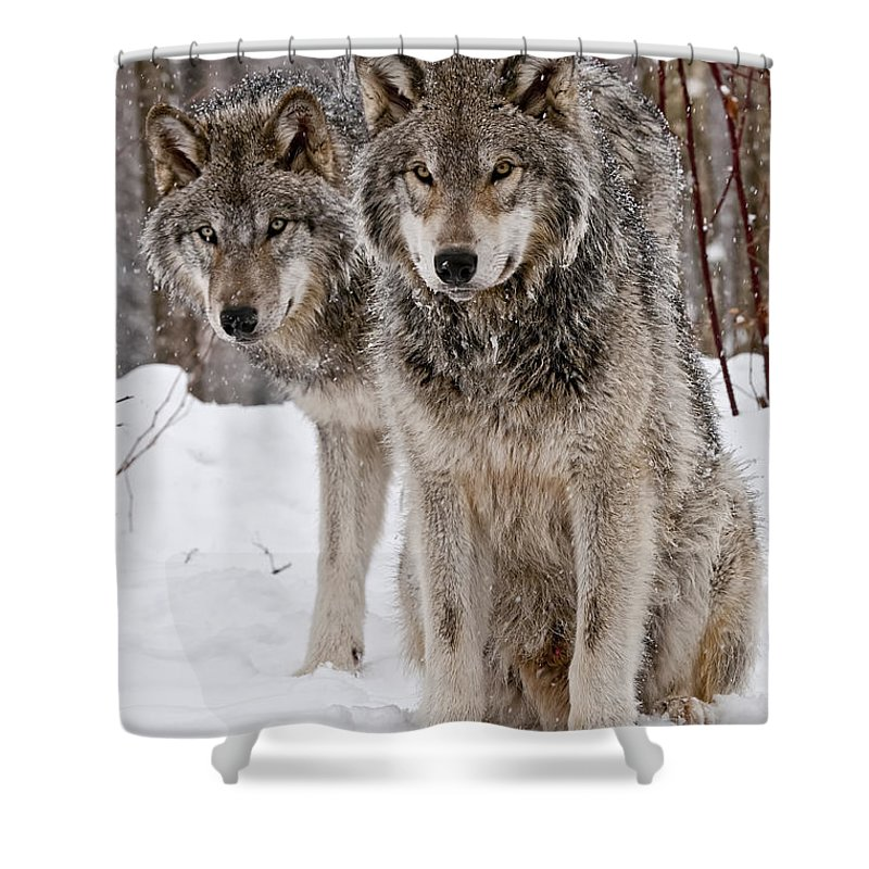 Michael Cummings Shower Curtain featuring the photograph Timber Wolves In Winter by Michael Cummings