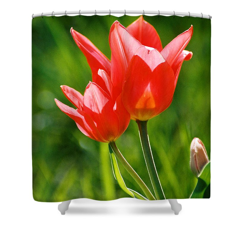 Flowers Shower Curtain featuring the photograph Toronto Tulip by Steve Karol