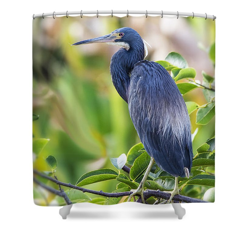 Tri-colored Heron Shower Curtain featuring the photograph Tri-colored Heron On A Branch by Saija Lehtonen