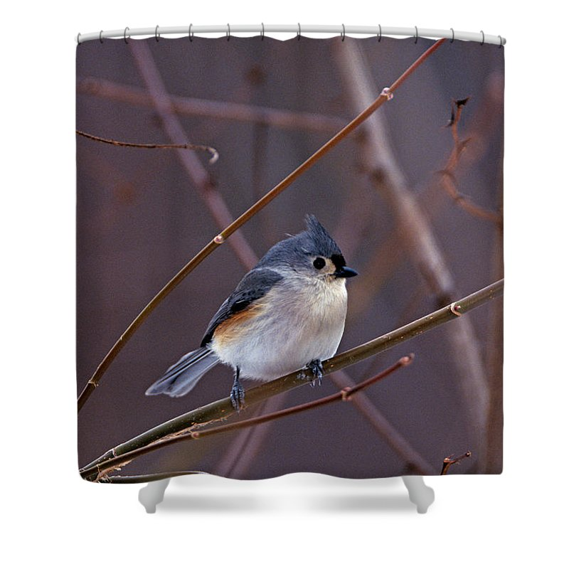 Tufted Titmouse Shower Curtain featuring the photograph Tufted Titmouse In Winter by John Harmon