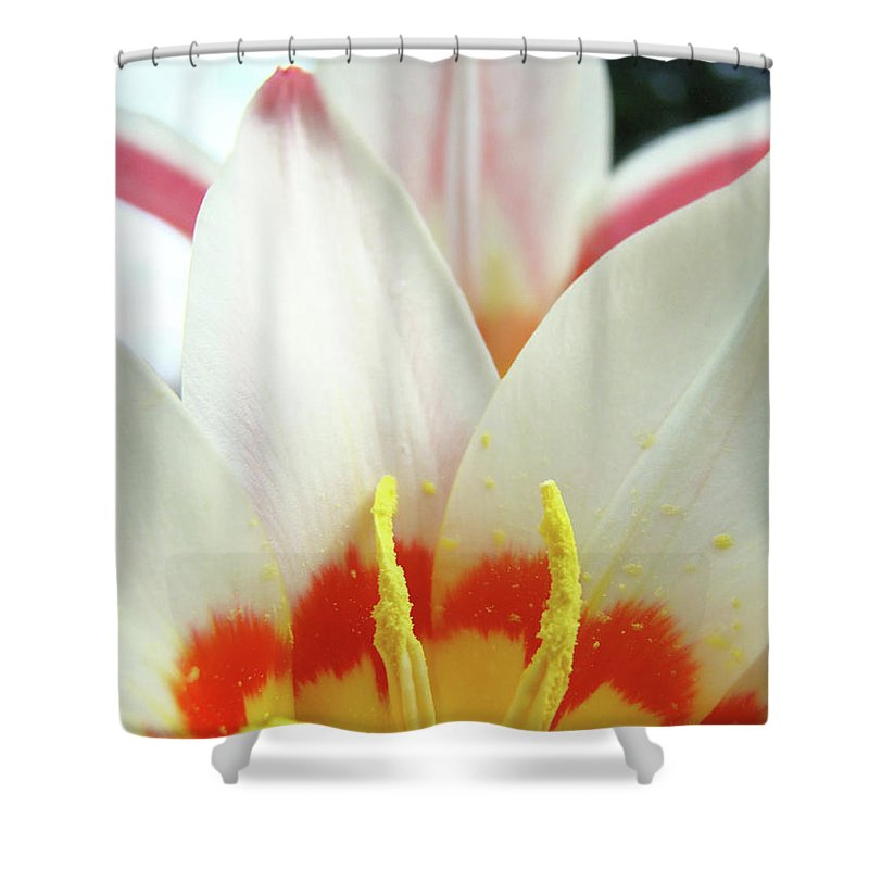 �tulips Artwork� Shower Curtain featuring the photograph Tulip Flowers Art Prints 4 Spring White Tulip Flower Macro Floral Art Nature by Baslee Troutman