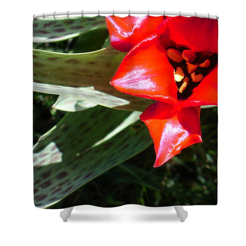 Tulip Shower Curtain featuring the photograph Tulip by Steve Karol
