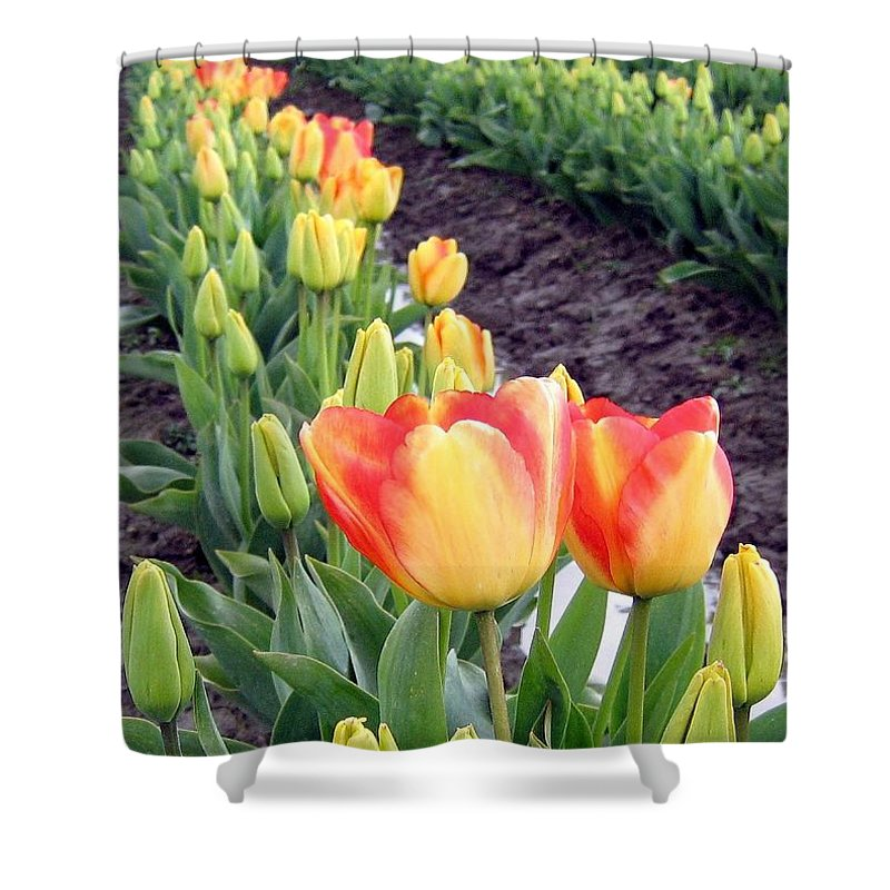 Agriculture Shower Curtain featuring the photograph Tulip Town 6 by Will Borden