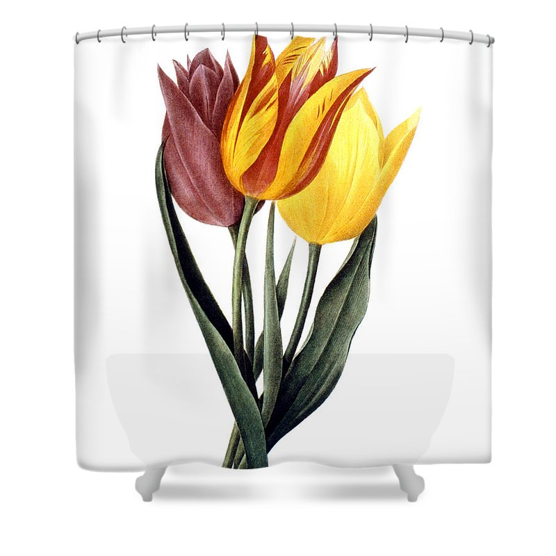 1833 Shower Curtain featuring the photograph Tulip (tulipa Gesneriana) by Granger