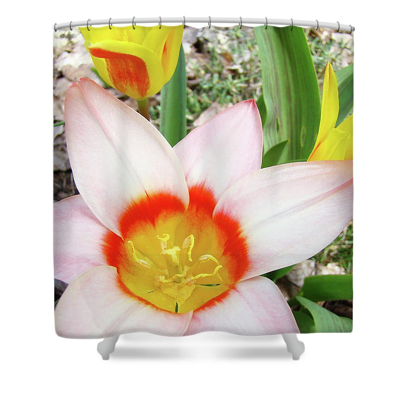 �tulips Artwork� Shower Curtain featuring the photograph Tulips Artwork 9 Spring Floral Pink Tulip Flowers Art Prints by Baslee Troutman