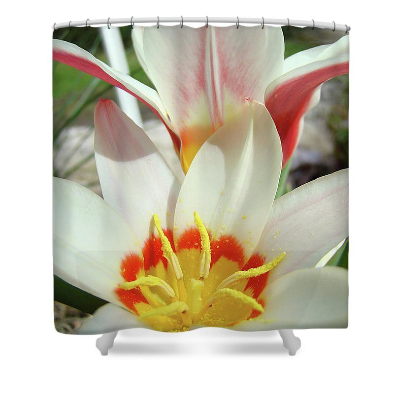 �tulips Artwork� Shower Curtain featuring the photograph Tulips Flowers Artwork 1 Tulip Flower Art Prints Spring Floral Art White Tulips Garden by Baslee Troutman